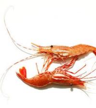 Shrimping 101