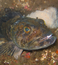 Lingcod: Beauty and the Beast Rolled into One
