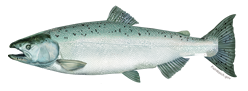 salmon_chinookFNL_NB_Species