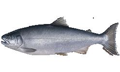 salmon_coho_species