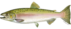 salmon_pinkFNL_NB_Species