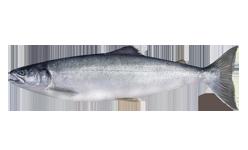 salmon_sockeye_OCEAN_NB_W