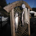 """The first """"Tyee"""" of the year at 31 pounds came from Kirby Point this weekend."""