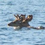 A couple of bucks in velvet out for a morning swim at Omak Lake!