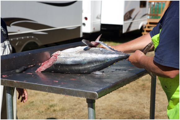 After you've removed the head and gut sack, roll the tuna on its back and start a cut from the tail forward ensuring that you remove the belly.