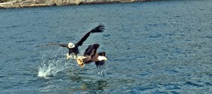 Two Bald Eagles duke it out over a fish near Friday Harbor. You never know when you might have a cool sighting like this anywhere in the Islands.