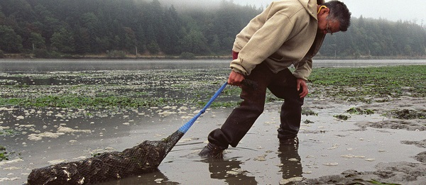 yaquina_oyster_restoration_web