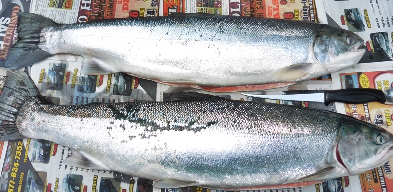 A pair of very Fine Columbia River Steelhead!