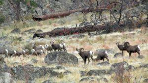 A herd of Omak Lake Bighorn