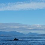 We spotted some Humpback whales moving through last weekend. It's very cool to see these big Cetaceans on their travels.