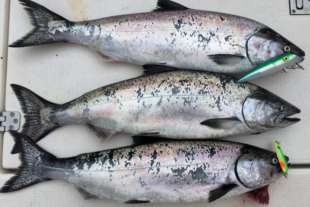 Image result for pile of chinook salmon on deck of boat
